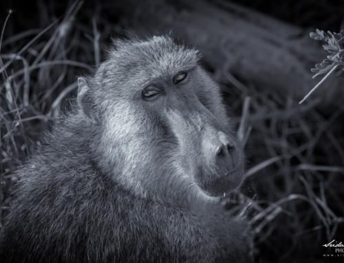 Olive Baboon – Old World Monkey – Kenya